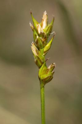 Carex muricata L., 1753