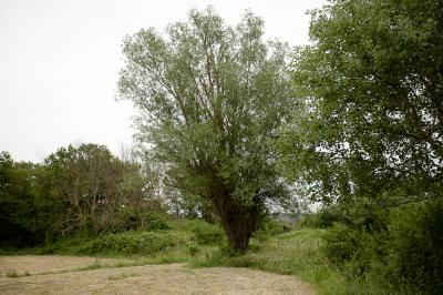 Saule blanc, Saule commun Salix alba L., 1753