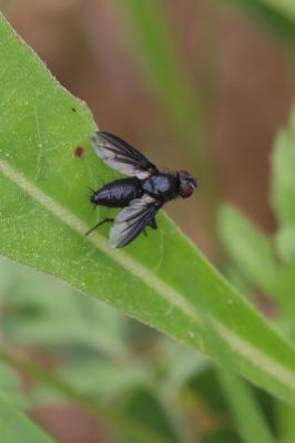 Paykullia maculata (Fallén, 1815)
