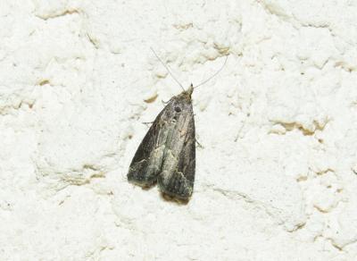 Schrankia costaestrigalis (Stephens, 1834)