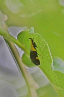 Oecophora bractella (Linnaeus, 1758)
