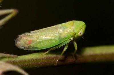 Macropsis albae Wagner, 1950