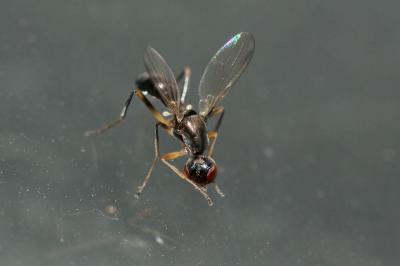 Nemopoda nitidula (Fallén, 1820)