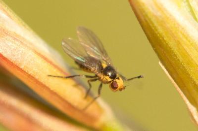 Liriomyza Mik, 1894