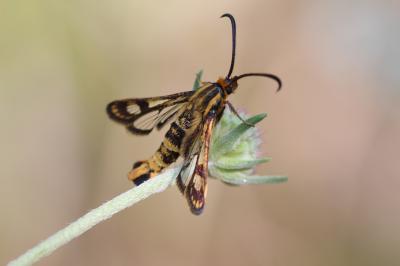 Sésie empiforme (La) Chamaesphecia empiformis (Esper, 1783)