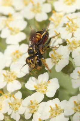 Dinetus pictus (Fabricius, 1793)