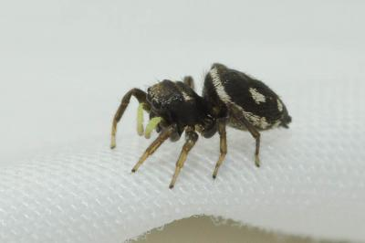 Heliophanus apiatus Simon, 1868