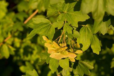 Érable champêtre, Acéraille Acer campestre L., 1753