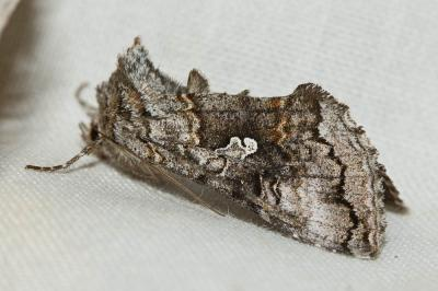 Syngrapha interrogationis (Linnaeus, 1758)