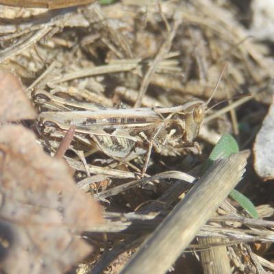 Criquet de Jago Dociostaurus jagoi occidentalis Soltani, 1978