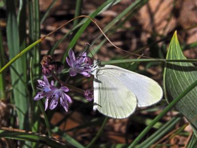 Piéride du Lotier (La), Piéride de la Moutarde (La Leptidea sinapis (Linnaeus, 1758)