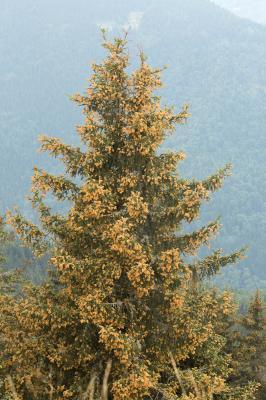 Épicéa commun, Sérente Picea abies (L.) H.Karst., 1881