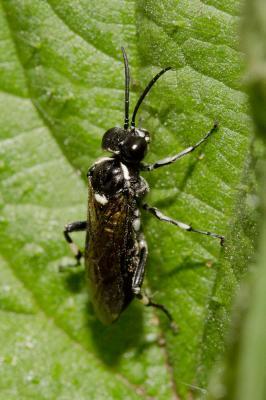Macrophya duodecimpunctata (Linnaeus, 1758)