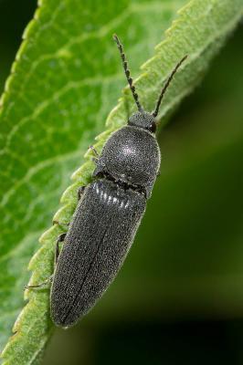 Mélanothus noir Melanotus punctolineatus (Pélerin, 1829)