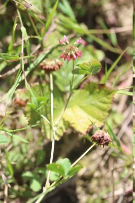 Trèfle hybride, Trèfle bâtard Trifolium hybridum L., 1753