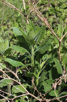 Belladone, Bouton-noir Atropa belladonna L., 1753