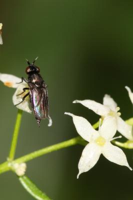 Oscinella maura (Fallén, 1820)