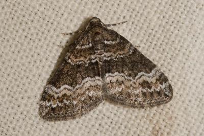 Périzome soulignée (La) Perizoma bifaciata (Haworth, 1809)