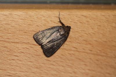 Noctuelles Noctuidae Latreille, 1809