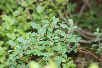 Airelle des marais, Orcette Vaccinium uliginosum L., 1753