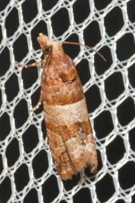 Lobesia indusiana (Zeller, 1847)
