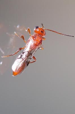 Aridelus rufotestaceus
