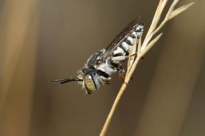 Coelioxys acanthura (Illiger, 1806)