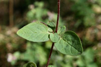 Origan commun Origanum vulgare L., 1753
