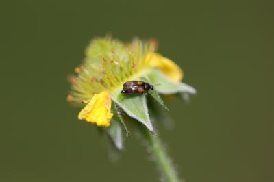 Anaspis fasciata (Forster, 1771)