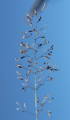 Agrostide capillaire Agrostis capillaris L., 1753
