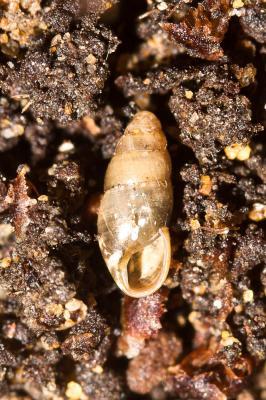 Brillante commune Cochlicopa lubrica (O.F. Müller, 1774)