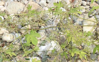 Houblon grimpant Humulus lupulus L., 1753