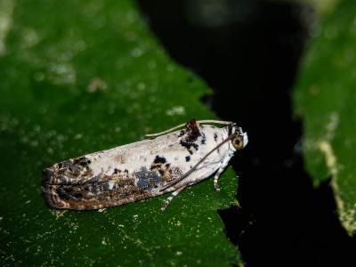 Hedya salicella (Linnaeus, 1758)