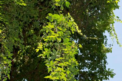 Vigne vierge à cinq feuilles, Vigne-vierge Parthenocissus quinquefolia (L.) Planch., 1887