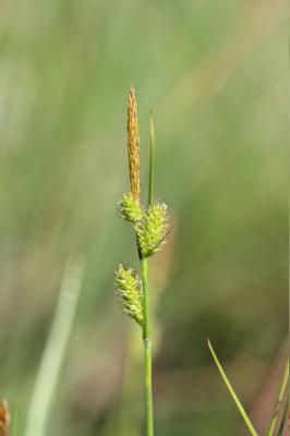 Laîche de Maire Carex mairei Coss. & Germ., 1840