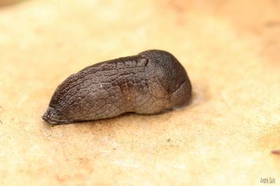 Pseudolimace jayet Milax gagates (Draparnaud, 1801)