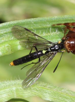 Calameuta haemorrhoidalis (Fabricius, 1781)