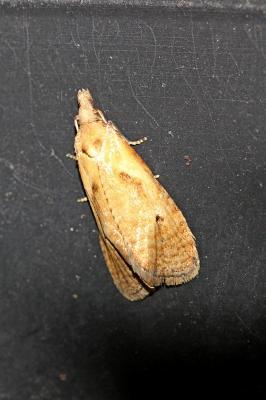 Phtheochroa inopiana (Haworth, 1811)