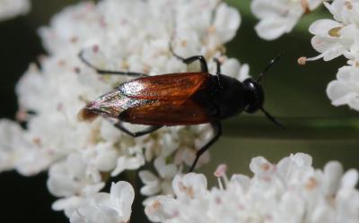 Macrosiagon praeusta (Gebler, 1830)