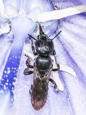 Chelostoma rapunculi (Lepeletier, 1841)