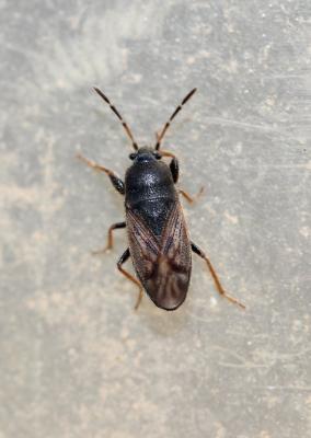 Megalonotus