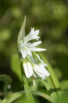 Ail à trois angles, Ail à tige triquètre Allium triquetrum L., 1753