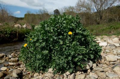 Chrysanthème des moissons, Chrysanthème des blés Glebionis segetum (L.) Fourr., 1869