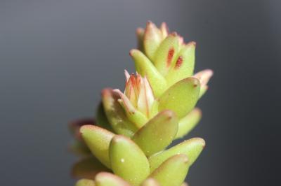 Orpin rougeâtre, Sédum rougeâtre Sedum caespitosum (Cav.) DC., 1828