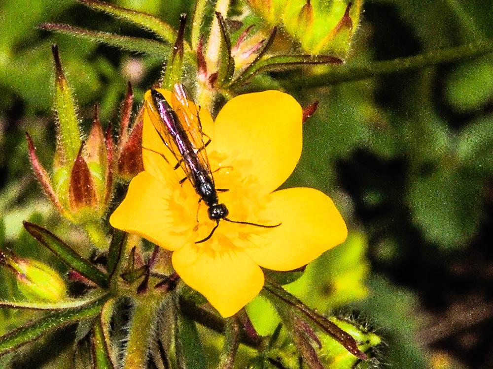 Le  sp. Cephidae Newman, 1834 sp.