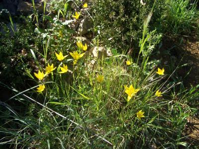 Tulipe sauvage, sous-espèce type, Tulipe des bois Tulipa sylvestris subsp. sylvestris L., 1753