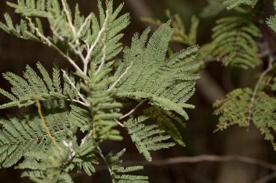 Mimosa argenté, Mimosa des fleuristes, Mimosa de B Acacia dealbata Link, 1822