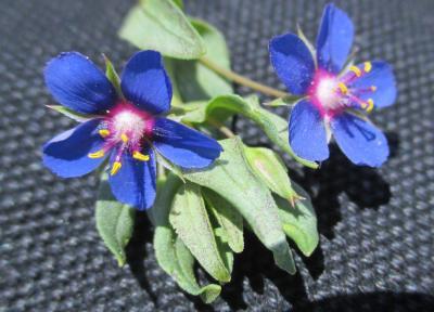 Mouron bleu Lysimachia foemina (Mill.) U.Manns & Anderb., 2009