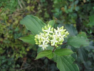 Sanguine Cornus sanguinea subsp. sanguinea L., 1753