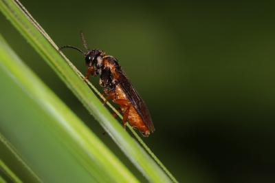Selandria melanosterna (Audinet-Serville, 1823)